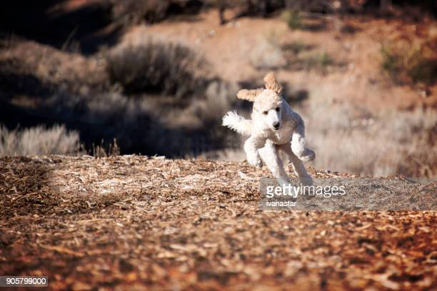 standard poodle puppy running - standard poodle stock photos and pictures