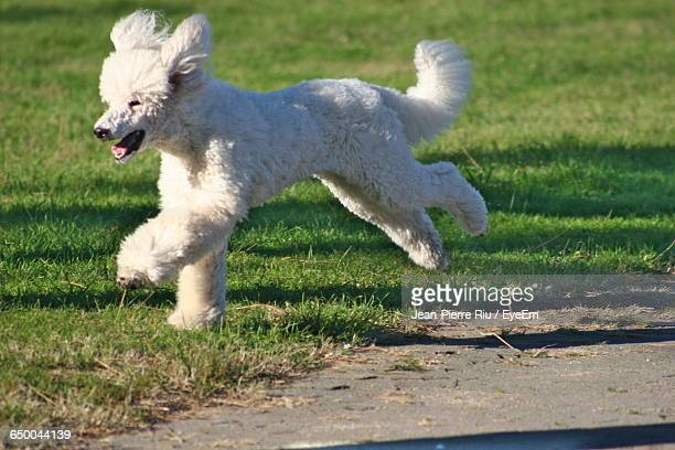 standard poodle running on grassy field during sunny day - standard poodle stock photos and pictures
