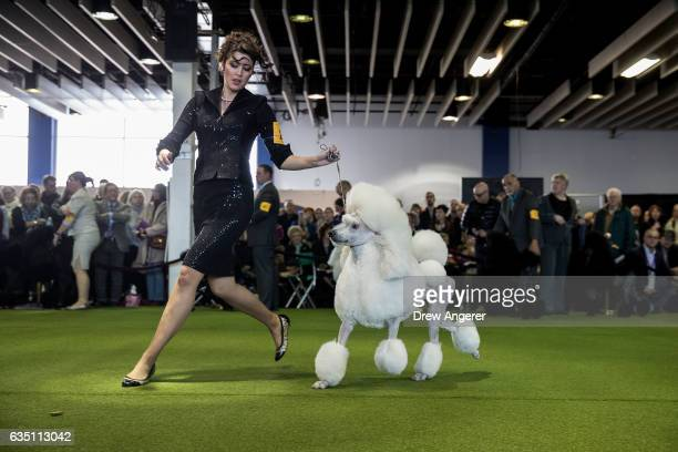 Standard Poodle runs during competition at the 141st Westminster Kennel Club Dog Show February 13 2017 in New York City There are 2874 dogs entered...