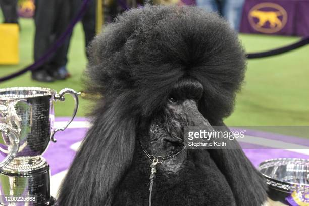 "Standard poodle ""Siba"" sits in the winners circle after winning Best in Show during the annual Westminster Kennel Club dog show on February 11, 2020..."