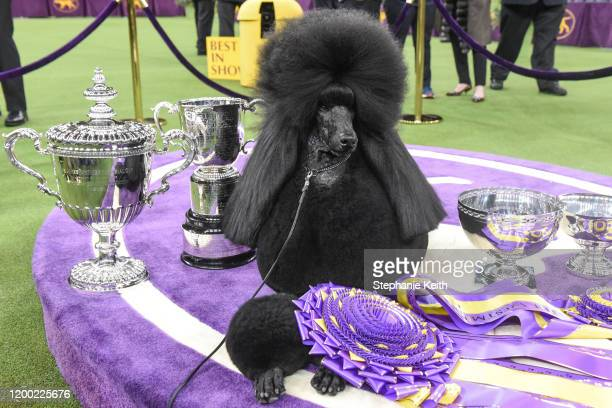 Standard poodle Siba sits in the winners circle after winning Best in Show during the annual Westminster Kennel Club dog show on February 11 2020 in...