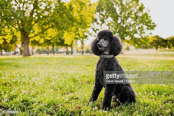 Standard Poodle Sitting On Grassy Field