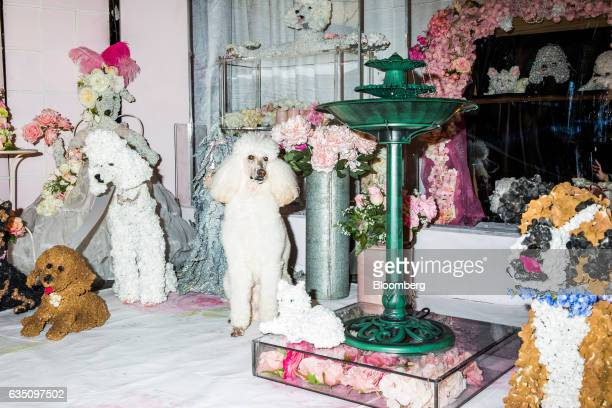 A standard Poodle stands next to flowers arranged to resemble dogs during the annual Meet the Breed event ahead of the 141st Westminster Kennel Club...
