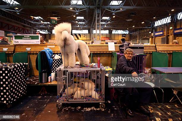 Standard Poodle stands on a box on the fourth and final day of Crufts dog show at the National Exhibition Centre on March 8 2015 in Birmingham...