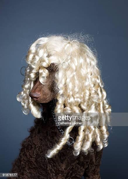 standard poodle (canis familiaris) with blonde wig - perücke stock-fotos und bilder