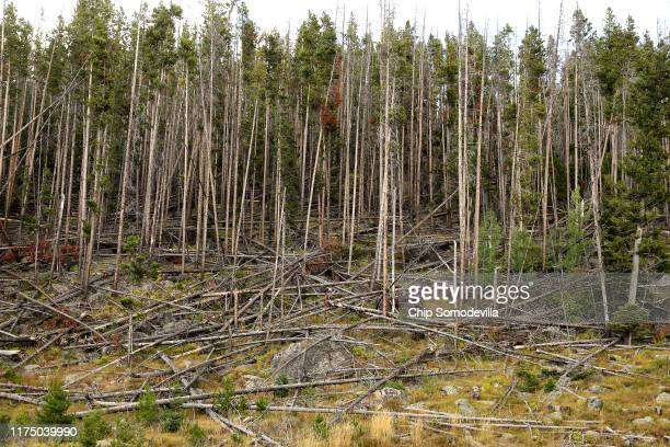 Standing and fallen lodgepole pine trees killed by the mountain pine beetle and its symbiotic blue fungus infection are tangled in the...