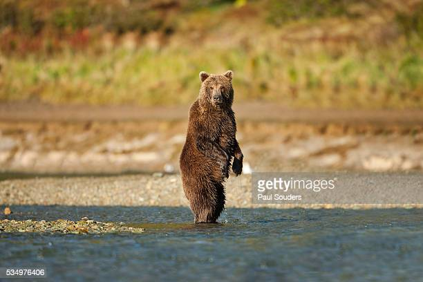 standing brown bear, katmai national park, alaska - orso bruno foto e immagini stock