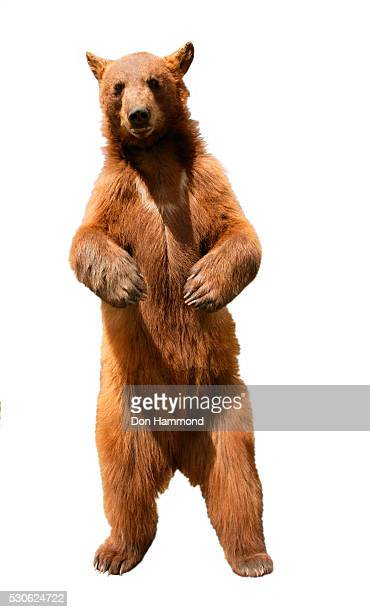 standing brown bear - one animal stock pictures, royalty-free photos & images