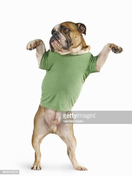 Standing Bulldog Wearing T-shirt On White Background
