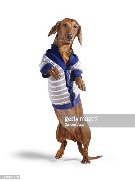 Standing Dashchund Dog Wearing Blue and White Cardigan On White Background