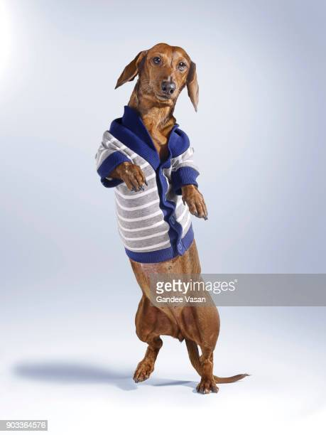 Standing Dashchund Dog Wearing Blue and White Cardigan
