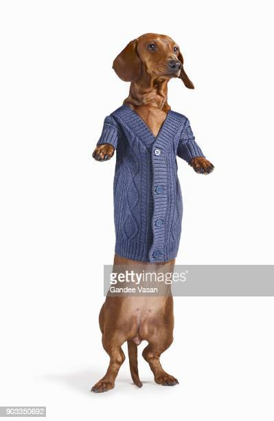 Standing Dashchund Dog Wearing Blue Cardigan On White Background
