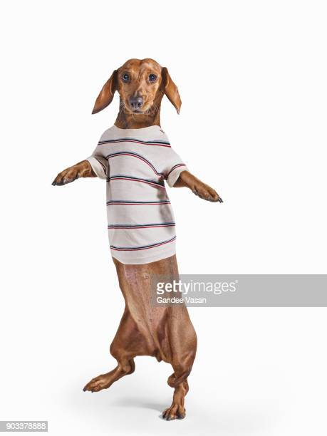 Standing Dashchund Dog Wearing Striped T-Shirt On White Background