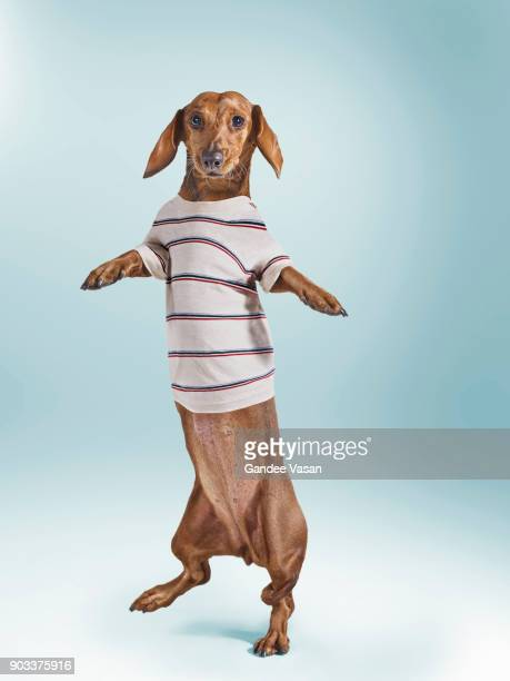 Standing Dashchund Dog Wearing Striped T-Shirt