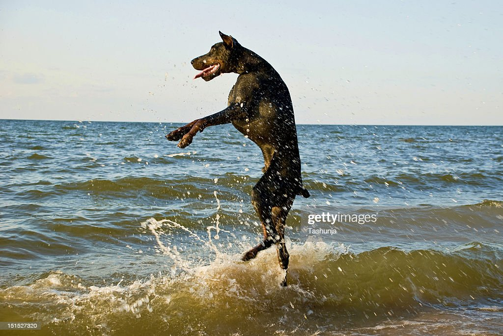 Standing dog in water : Stock Photo