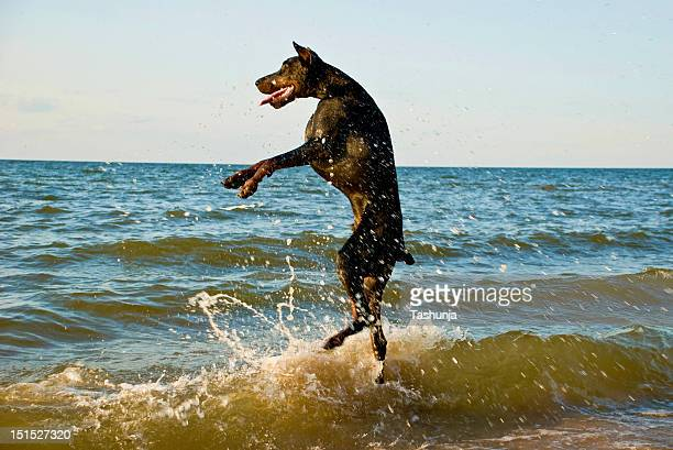 Standing dog in water