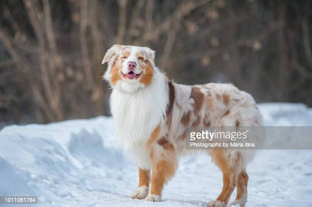 standing dog in winter - australian shepherd stock pictures, royalty-free photos & images