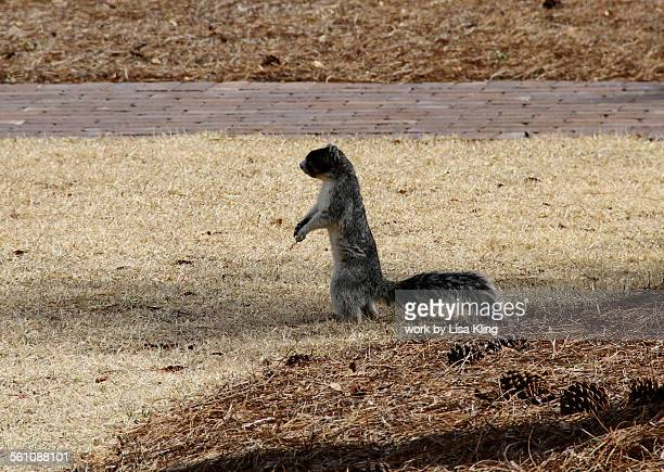 Standing Gray Fox Squirrel