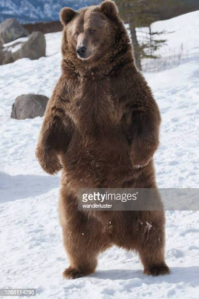 standing grizzly bear in winter - grizzlies stock pictures, royalty-free photos & images