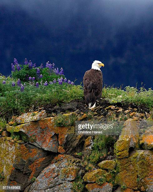 standing guard - eagle nest stock photos and pictures