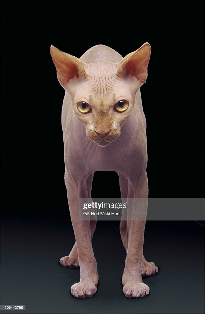 Standing Hairless Cat on Black Background : Stock Photo