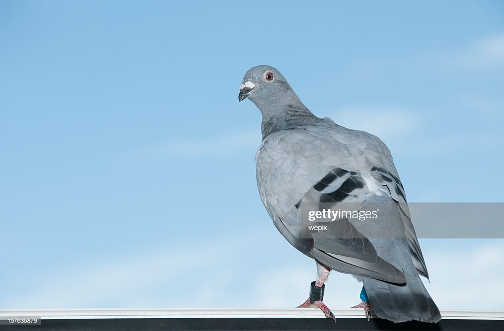 Standing homing pigeon looking leg-rings blue sky close-up : Stock Photo