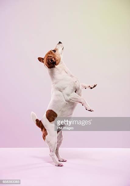Standing Jack Russell Terrier