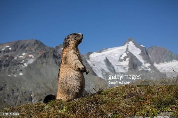 Debout Marmotte avec Mont Grossglockner dans l'arrière-plan.