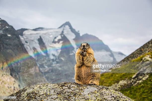 Standing Marmot with Grossglockner in the background.