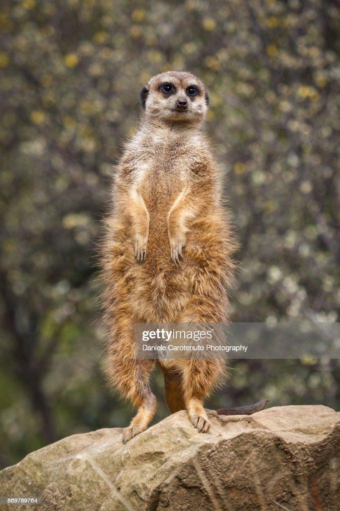 Standing meerkat : Stock Photo