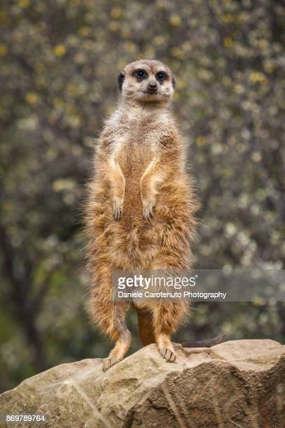 standing meerkat - daniele carotenuto stock pictures, royalty-free photos & images