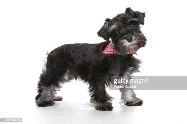 standing miniature schnauzer puppy wearing a red bandana on a white backdrop - 愛玩犬 ストックフォトと画像