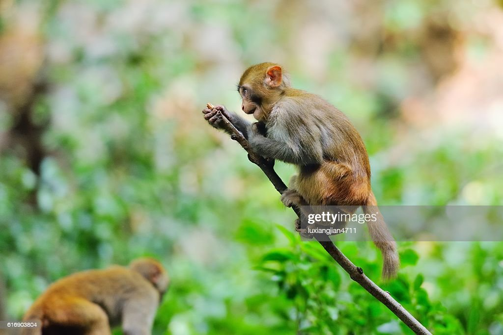 Standing monkey on the branch 02 : Stock Photo