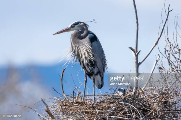 standing on nest and sitting on eggs, great blue heron involved in spring activates of nest building and mating - rookery building stock pictures, royalty-free photos & images