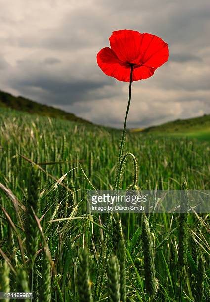 standing poppy. - oriental poppy stock pictures, royalty-free photos & images
