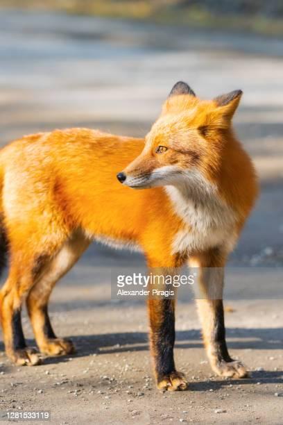 standing red fox with fiery fur color - fuchspfote stock-fotos und bilder