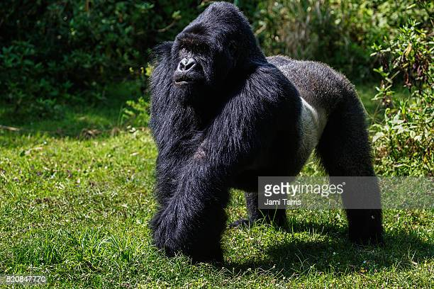 A standing silverback mountain gorilla, side view
