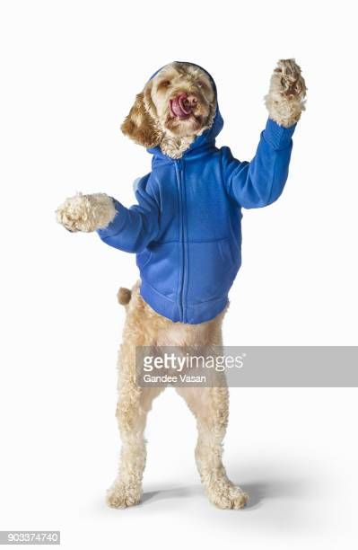 Standing Spoodle Dog Wearing Hoodie On White Background