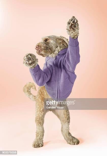 Standing Spoodle Dog Wearing Hoodie