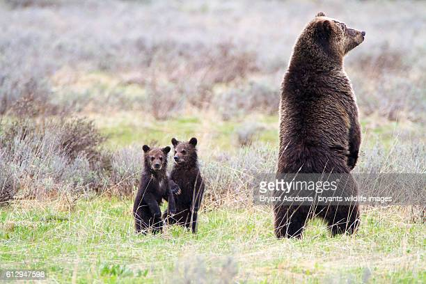 standing tall - cub stock pictures, royalty-free photos & images