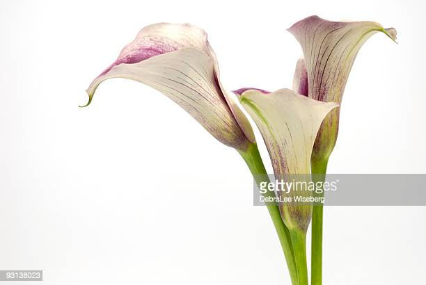 standing tall - calla lily stock pictures, royalty-free photos & images