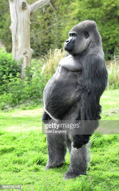 standing tall - gorilla stock pictures, royalty-free photos & images