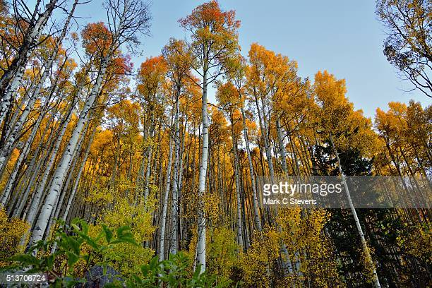 standing under tall aspen trees - white river national forest stock photos and pictures