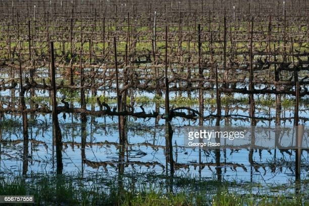 Standing water from recent rains can still be seen in an Eastside Road vineyard on February 9 near Healdsburg California After record winter rainfall...