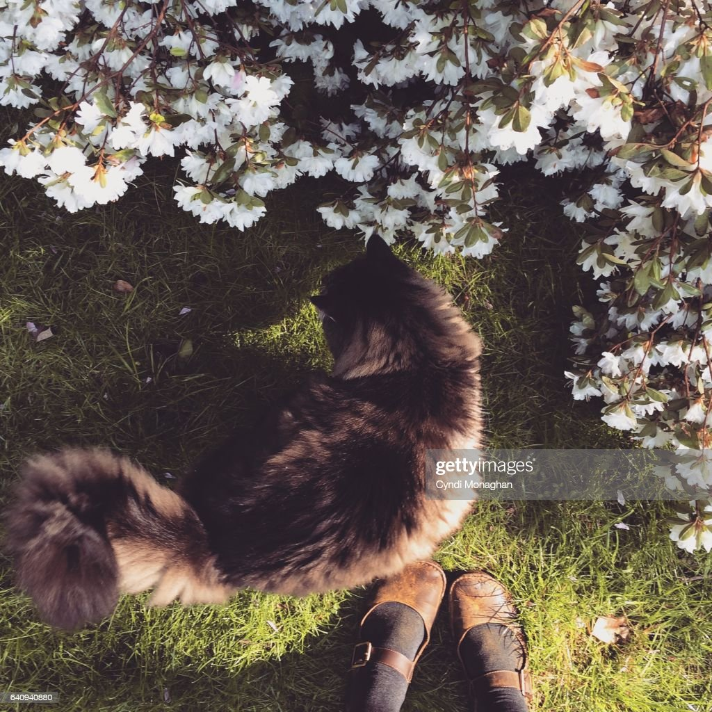 First person perspective of a woman standing in a white azalea garden with green grass, pink cherry blossom petals and a large and fluffy Maine Coon cat standing at her feet. Friendship.