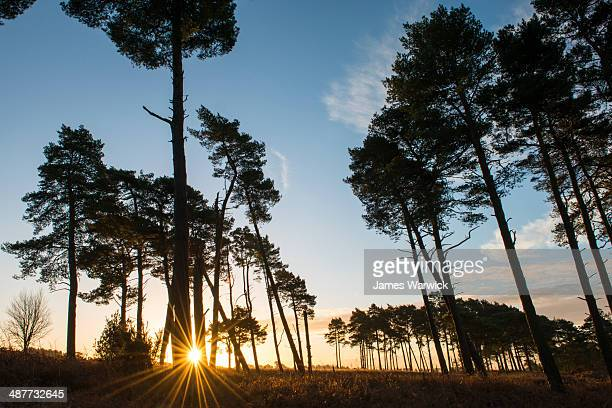 Stands of Scots pines at sunrise