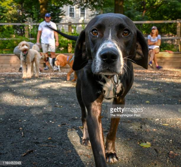 Stanley approaches the camera for his closeup at a small dog park that is causing some friction between locals in Chevy Chase MD