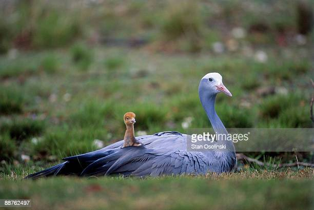 stanley crane (anthropoides paradisea) parent with chick on back in zoo, africa - day old chicks stock photos and pictures