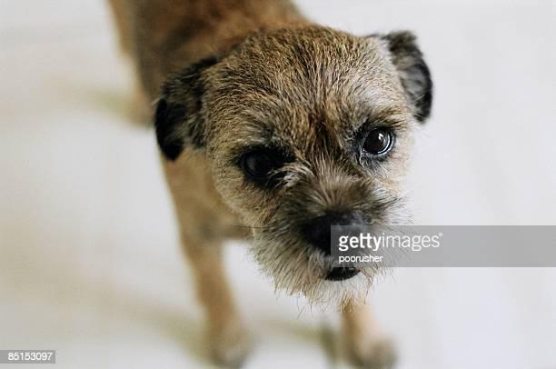 stanley - norfolk terrier photos et images de collection