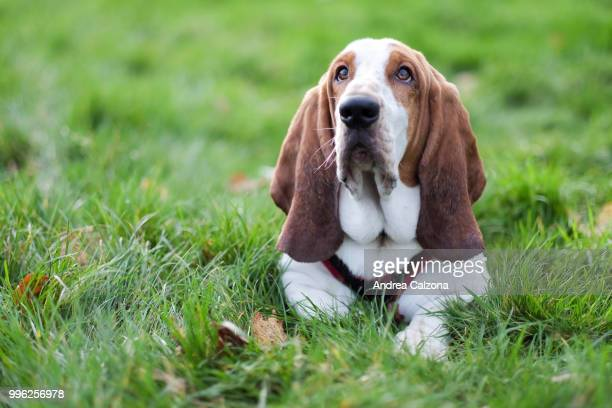 stanley - basset hound stock pictures, royalty-free photos & images